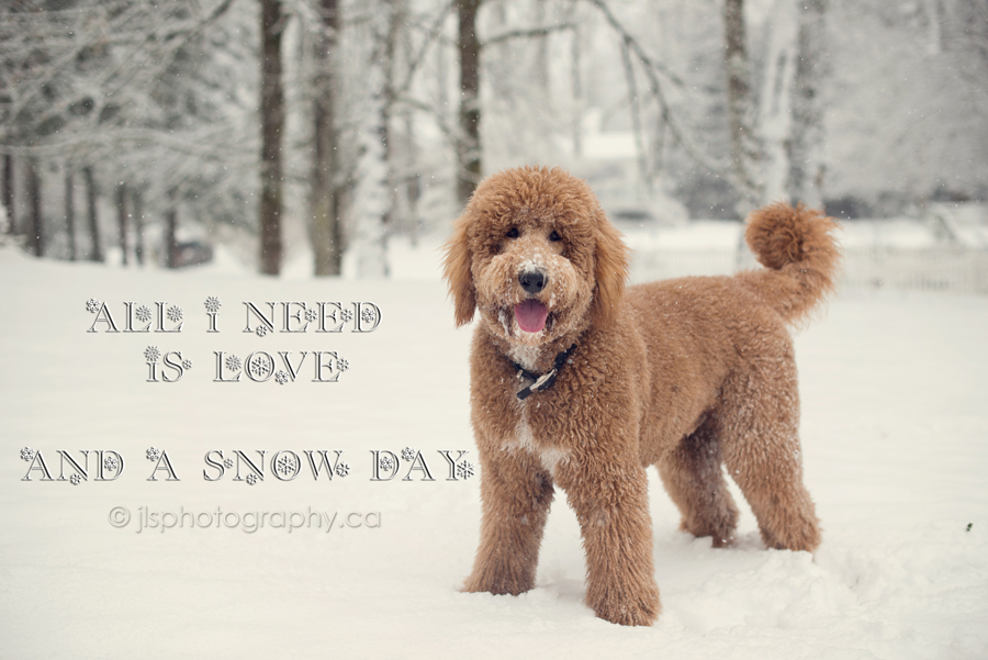 outdoor snow portraits, winter pictures, snowy family photos, dogs in the snow, Goldendoodle in the snow, fur baby photos,